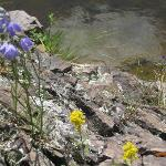 Flowers growing in the rocks in front of Blue String cabin