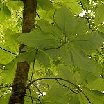 Giant leaves of the wild Magnolia tree