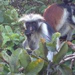 Red Back colobus monkey in the near forest