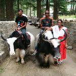 yak ride in Hidmba Devi Temple