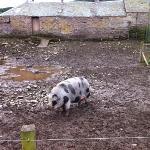 A pig in mud!