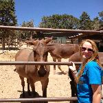 Feeding the famous Grand Canyon mules