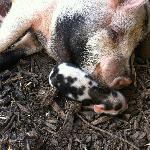 baby kune kune with its mother