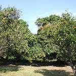 Mango & Citrus Trees