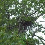 This is an eagle's nest in a cottonwood tree next door to the inn. Can see well with binoculars