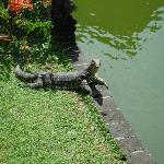 Montior Chilling by the pond