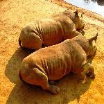 Sun tanning rhino