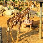 Sun tanning giraffe