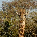 giraffe at timbavati