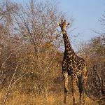 giraffe at ghoha
