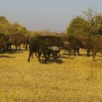 Buffalo herd Chobe Game Lodge