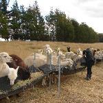 Alpacas' feeding