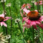 Coneflowers in the farm's garden