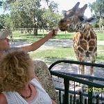 How to feed giraffes!
