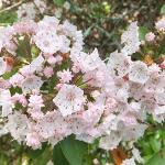 The Mountain Laurel Blooms Late May on the Ridge Hiking Trail