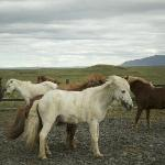 Icelandic horses on the stable behind the Governor's House