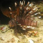 Lion Fish on a Night Dive