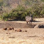 A waterbuck at this waterhole!