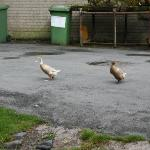 Genuine farm, ducks included