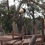 Panda cub playing on a tree!!