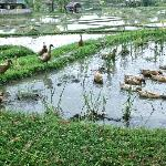 Ducks wading in the rice fields