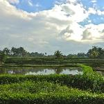 Rice fields and dramatic sky