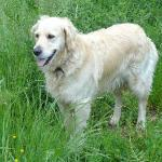 Lottie the Golden Retriever