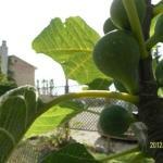 garden / a fig tree