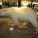 A full grown polar bear