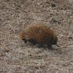 Echidna just pottering eating ants