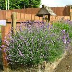 Lavender by the sunflower garden