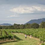 A view of our vineyards
