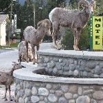 Big Horn Sheep@Big Horn Motel