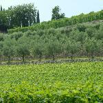 Oliven- og vinlund