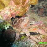 king crab under a coral ladge