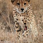 Cheetah Sighting - Day Drive
