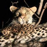 Leopard Sighting - Night Drive (offroading)
