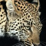 Leopard Sighting (up close) - Night Drive (offroading)