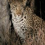 Leopard Sighting - Night Drive (offroading)2