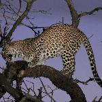 One more leopard at night with its kill