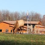 Elk grazing outside the Center