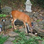 deer in garden area