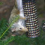 Squirrel on feeder in garden area