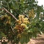 Nut's on the tree