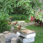 Chickens out for a roam! I loved them..so cute...