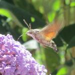 Hummingbird Moth, in the butterfly bush outside of our room, gorgeous!
