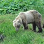 Kodiak mom bear