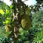 Jackfruit growing on the property