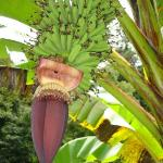 Bananas growing on the property, delicious