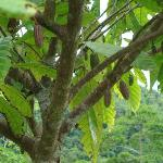 Cocoa growing on the property